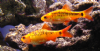 Golden  Barbs (Pack of 3)